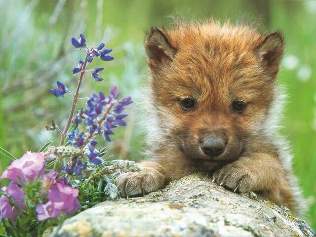File:Gray Wolf Pup-(1024x768).jpg