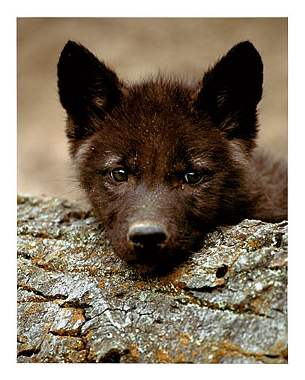 File:Cute black wolf pup-1.jpg