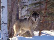 Full Profile, Gray Wolf