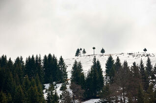 Several pine trees on a snow covered hill