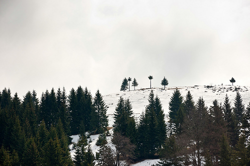 File:Several pine trees on a snow covered hill.jpg