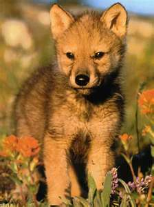 File:Red wolf pup.jpg