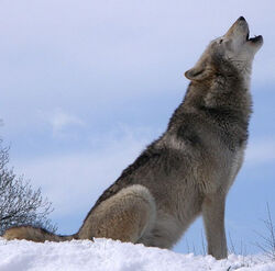 From Wikipedia- Dakota, a Grey Wolf - Public Domain, by Retron