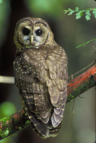 File:Northern spotted owl (Strix occidentalis caurina).jpg