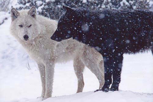 File:White wolf and black wolf.jpg