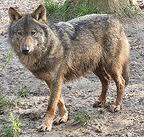 Malachyphotobrindledwolfreallyiberianwolfcanislupusiberiusthisisalongnamewow..