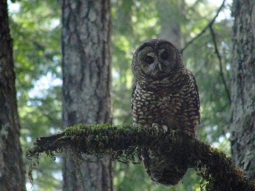File:Spotted owl (Strix occidentalis) on Humboldt Redwoods State Park Johnson Camp Trail.jpg