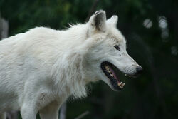Hungry Arctic Wolf