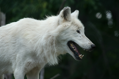 File:Hungry Arctic Wolf.jpg