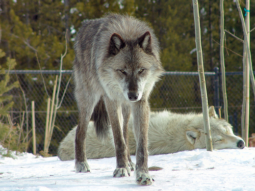 File:Feb 5, 2009 - Grey Wolf.jpg