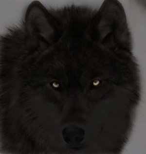 File:Black wolf by PerfectWolf.jpg