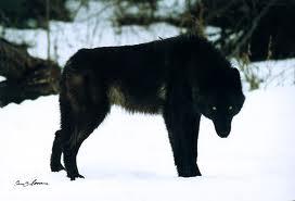 File:Black wolf 1.jpg