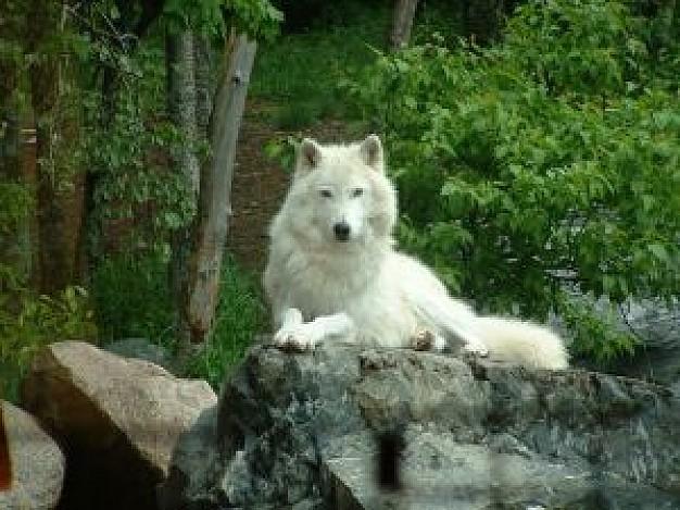File:Lone wolves.jpg