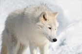 File:2773283-an-arctic-wolf-is-walking-in-the-snow.jpg