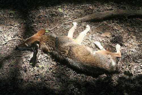 File:Sleeping Red Wolf.jpg
