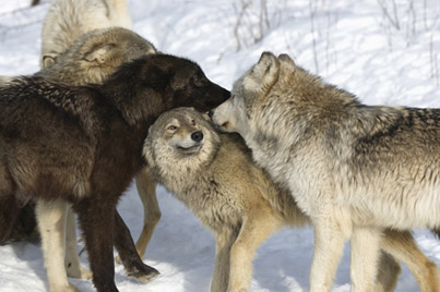File:4016-wolfpack.jpg