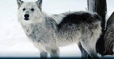 File:Gray wolf 2.jpg