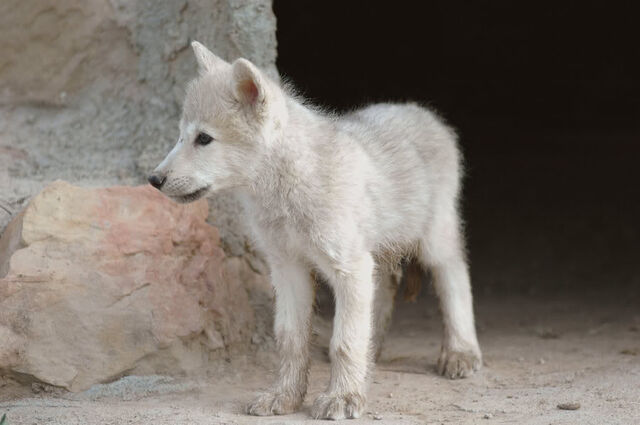 File:Wolf pup.jpg