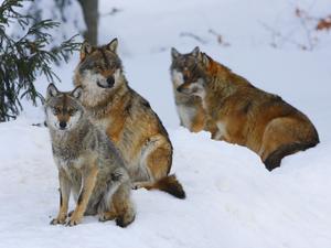 Winter Wolf Pack WaLp TW