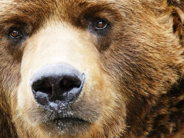 File:Grizzly-Bear-Face-1-.jpg