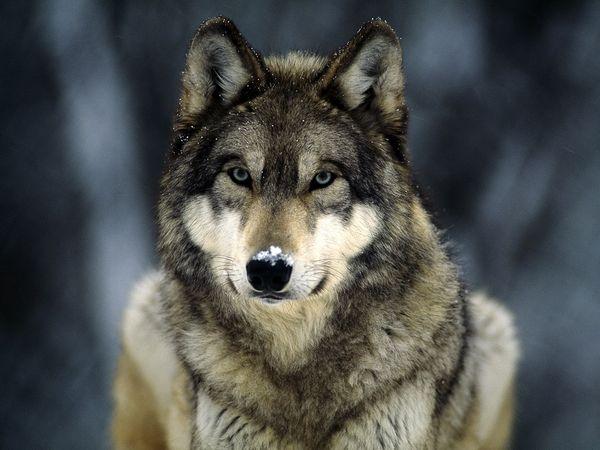File:Grey-wolf 565 600x450 (1).jpg