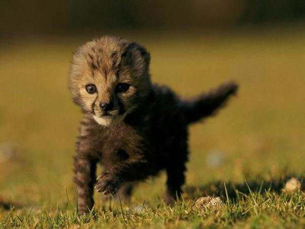 File:Rare-king-cheetah-cub 27539 600x450.jpg