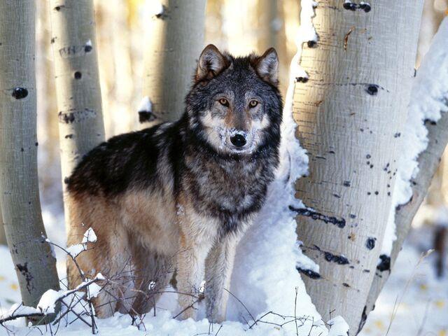 File:Wolves-Wallpapers-wolves-9705443-1600-1200-1-.jpg