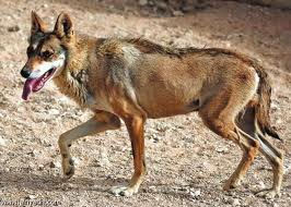 File:Arabianwolf3.jpg