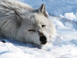 File:Articwolf9.jpg