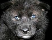 File:AlaskanTwolf.jpg