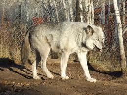 File:AlaskanTwolf3.jpg