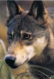 File:Arabianwolf6.jpg