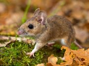 11645105-yellow-necked-mouse-walking-on-forest-floor