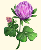 File:Cloverplant.png
