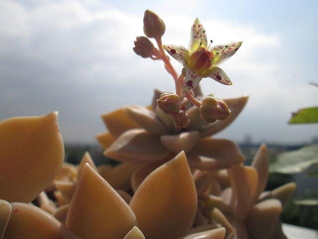 File:Graptopetalum paraguayense fleur.JPG