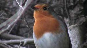 A Robin Singing (Erithacus Rubecula Rougegorge familier Pettirosso Petirrojo Rotkehlchen) 2