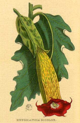 File:Brugmansia bicolor.jpg