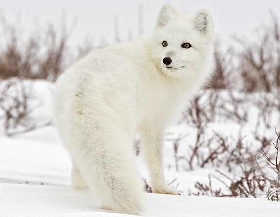 File:Arctic-fox-canada.jpg