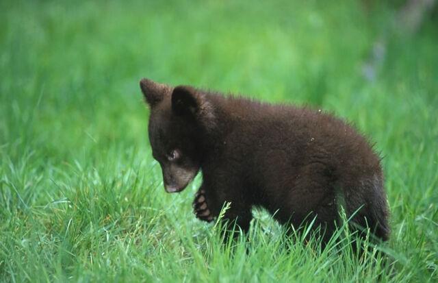 File:Black bear cub.jpg
