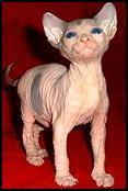 Hairless-cat