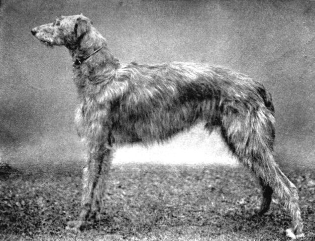 File:Scottish Deerhound.jpg