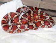 2010-10-05-17-00-50-6-red-rat-snake