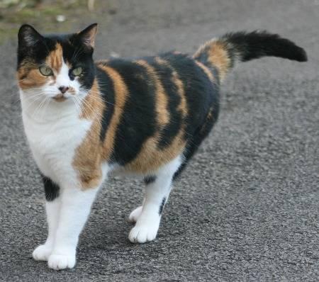 File:Calico-cat.jpg