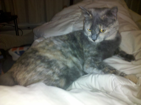 File:Sandown-Kitty-dilute-tortie-side-view.jpg