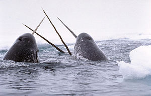 File:300px-Narwhals breach-1-.jpg