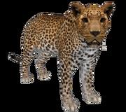Africanleopard