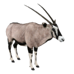 Gemsbok remake.