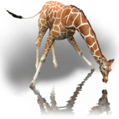 Reticulated Giraffe remake (male).