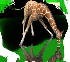 File:GiraffeRm.png