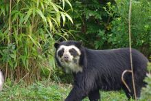Spectacled-Bear-in-the-Wild
